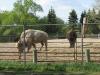 assiniboine-park-zoo-bisson-buffalo